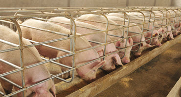 Researchers optimize sow nutrition