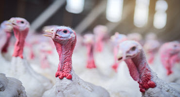 New insurance coming for Ont. turkey farmers