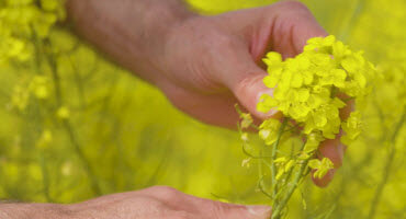 Protecting your canola yields