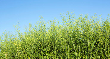 Grain company looking for camelina growers