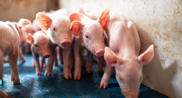 Initial results from piglet transport study