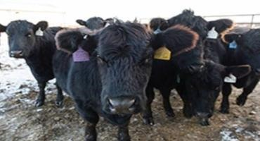 University-developed US animal disease ID system receives Tyson support