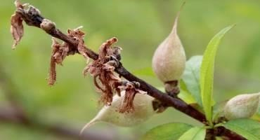 Twig Dieback Affecting Alabama Peaches