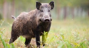Ont. proposes strategy for wild pigs