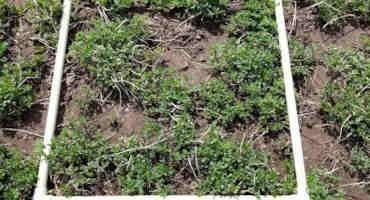 Assess Alfalfa Stands