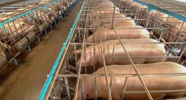 Pork sector awaits Proposition 12 verdict
