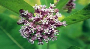 Ont. ag society launches milkweed project