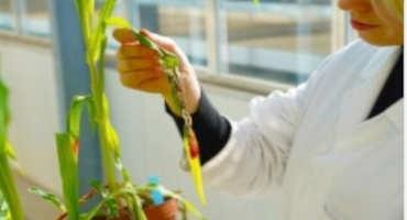Essential Virulence Proteins of Corn Smut Discovered