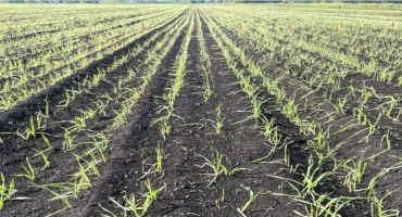 Onion Weed Control During Cold Weather