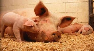African Swine Fever Virus Vaccine Candidate Now Produced in a Cell Line