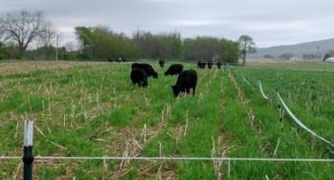 Avoid Soil Compaction When Grazing Cover Crops