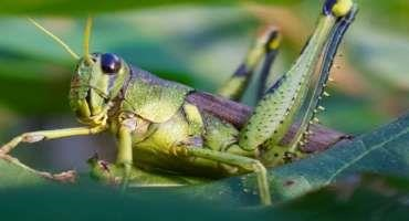 Insect Pests of Cotton: Grasshoppers