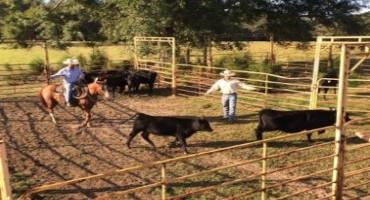 3 Reasons to Weigh Your Mature Cow Herd