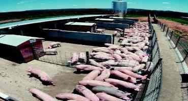 Livestock Gross Margin Swine