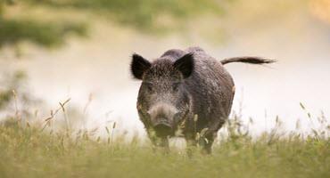 Documenting wild boar sightings in Alberta