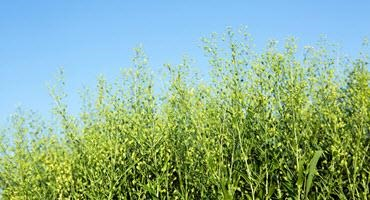 Camelina: a potential new crop for Ont.