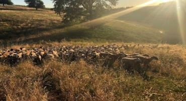 A Short Season? Managing Irrigated Pasture in a Drought Year