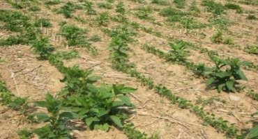 Pokeweed Control in Corn and Soybean