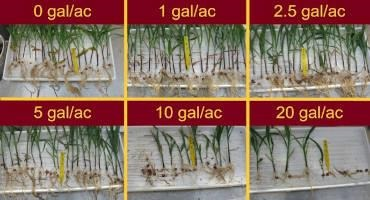Should You Scout for Starter Fertilizer Damage in Dry Corn Fields?