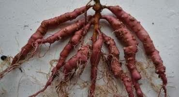 Farmers, Gardeners can Help Root Out a New Nematode that Spreads Aggressively in Vegetable Crops