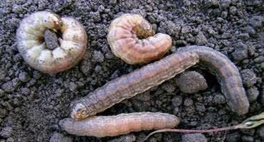 Scouting for cutworms
