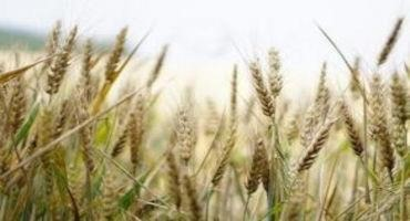 Don't Delay Wheat Harvest