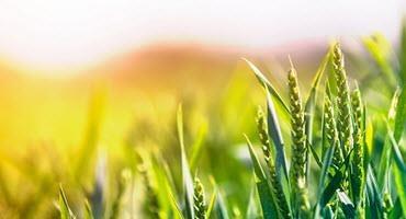 U.S. spring wheat crop begins to head