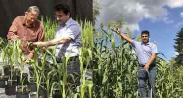 Sweet Sorghum Promising for the Environment