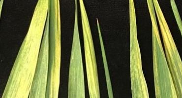 Viruses Detected in Michigan Wheat