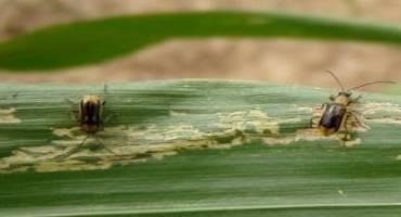 Corn Rootworms and Fireflies