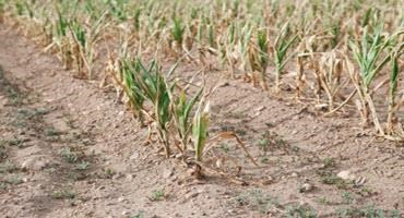 Crops showing drought stress