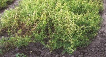 Managing anthracnose in lentils