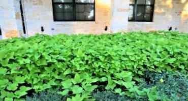 Ornamental Sweet Potatoes Named Newest Texas Superstar