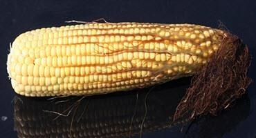 U.S. corn enters dough stage