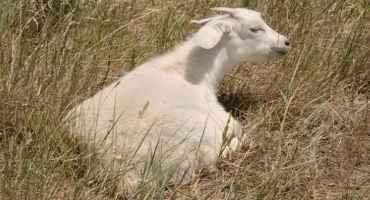Heat Stress in Small Ruminants