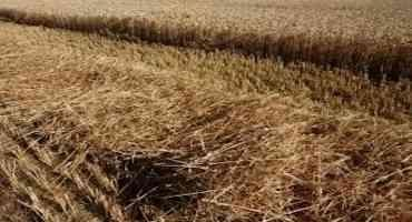 Nutrient Value of Wheat Straw