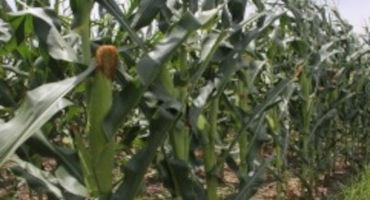 US Corn and Cotton Crop Conditions Improve- Oklahoma Wheat Harvest Officially Done