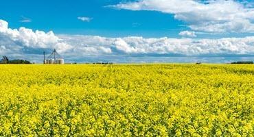 BASF introduces first seed treatment for InVigor canola