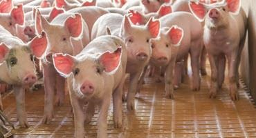 PRRS variant unlikely to reach Cdn. pigs