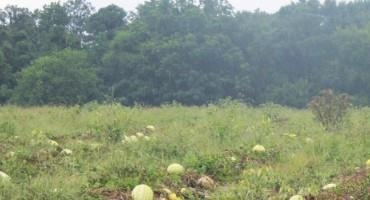 Weather Ruins Majority of State's Watermelon Crop