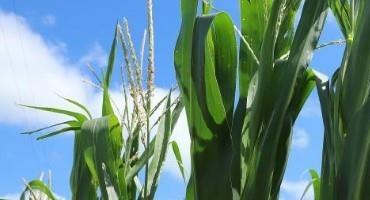 Nebraska Corn Growth on Schedule, Soybeans Slightly Ahead of Average