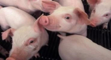 UMD Collaborates to Improve Pig Muscle Growth, Implications for Sustainability and Health