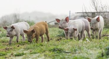 Survey helps small scale pig farmers