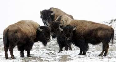 Getting Started With Bison Ranching