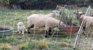 Bonding LGDs to Cattle
