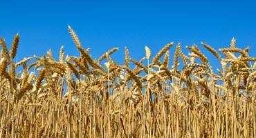 U.S. wheat crop update