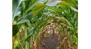 Tar spot in Ontario's corn