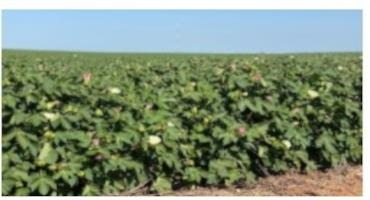 USDA Weekly Crop Progress Report Show Corn and Soybeans Staying Steady
