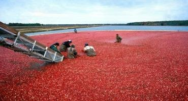 Average Wisconsin Cranberry Crop Expected After Dry Summer