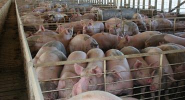 Energy shortage affecting U.K. swine industry